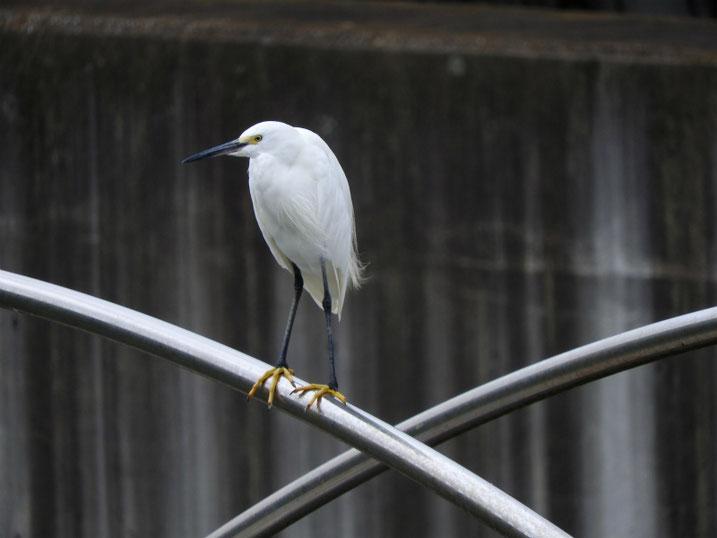 小鷺(こさぎ) 散策路河川 2021/09/08撮影