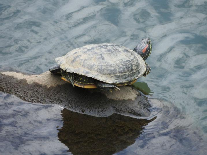 アカミミガメ 散策路河川 2020/06/26撮影