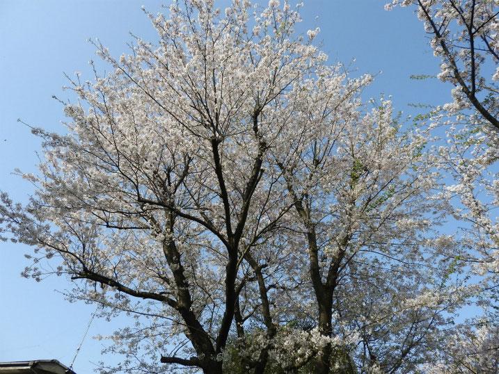 散策路の桜風景 2021/03/31撮影