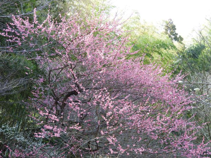 3月の紅梅(こうばい) 散策路公園 2021/03/01撮影