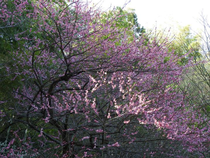 紅梅の木 親水公園 2020/02/24撮影