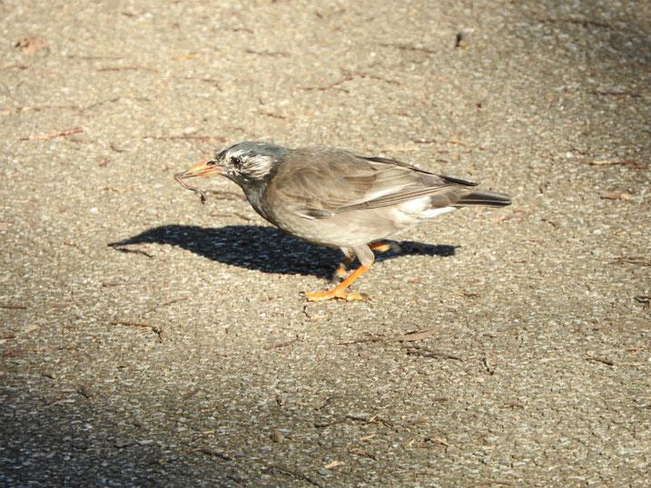 椋鳥(むくどり) 散策路公園 2020/02/18撮影