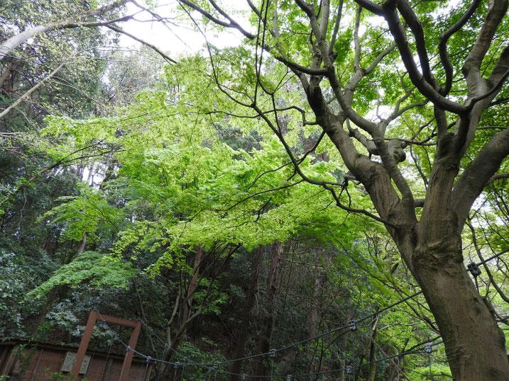 4月の、緑道の吊り橋 2020/04/12撮影
