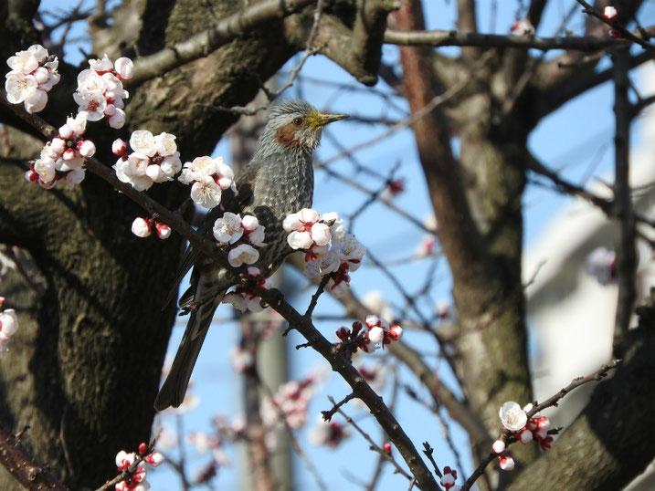 杏とヒヨドリ 散策路 2021/03/10撮影