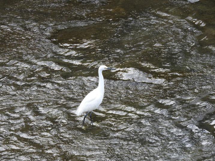 小鷺(こさぎ) 散策路河川 2020/11/08撮影