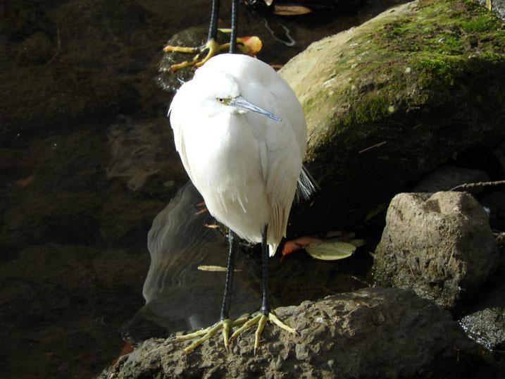 小鷺(こさぎ) 散策路河川 181224撮影