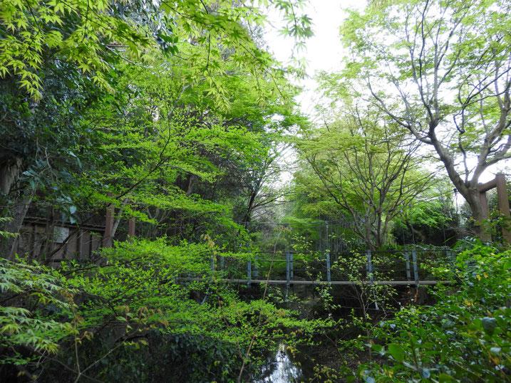 4月の、親水緑道の吊り橋 2020/04/05撮影