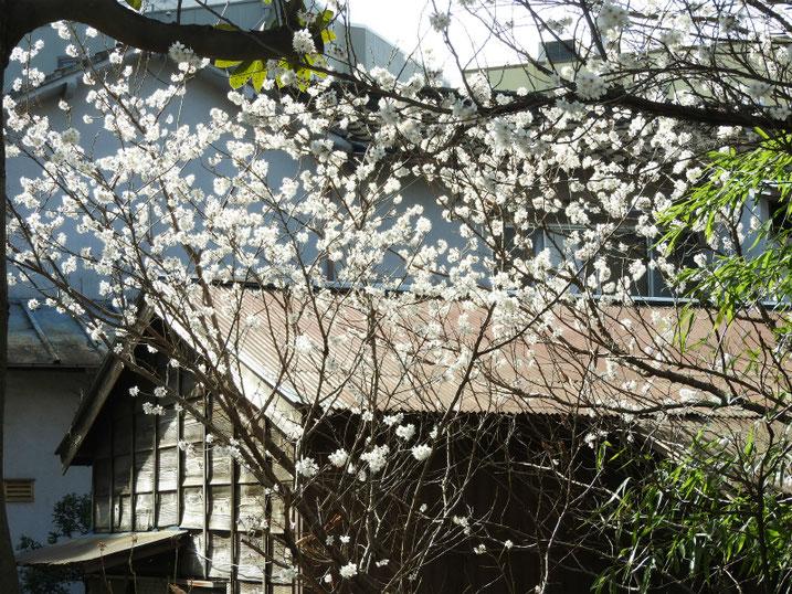 3月の白梅(はくばい) 散策路 2021/03/01撮影