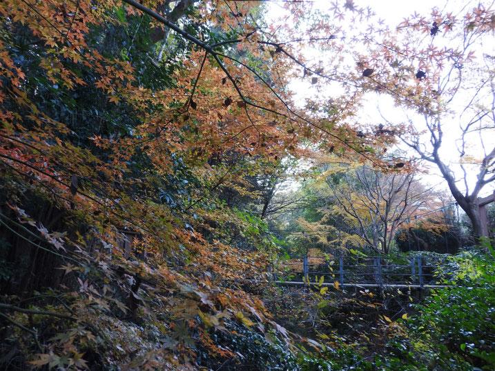 紅葉 親水緑道吊り橋 2019/12/16撮影
