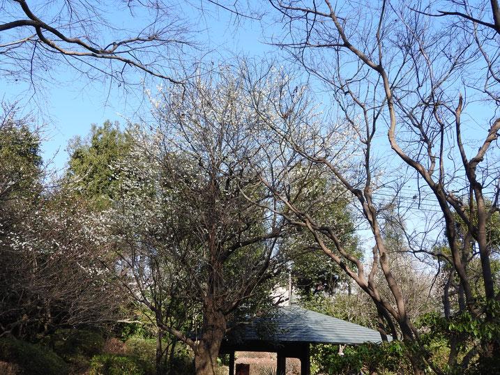白梅 親水公園 2020/02/05撮影
