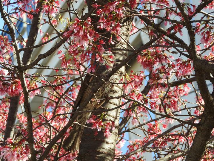 オカメザクラとヒヨドリ 散策路公園 2020/03/11撮影