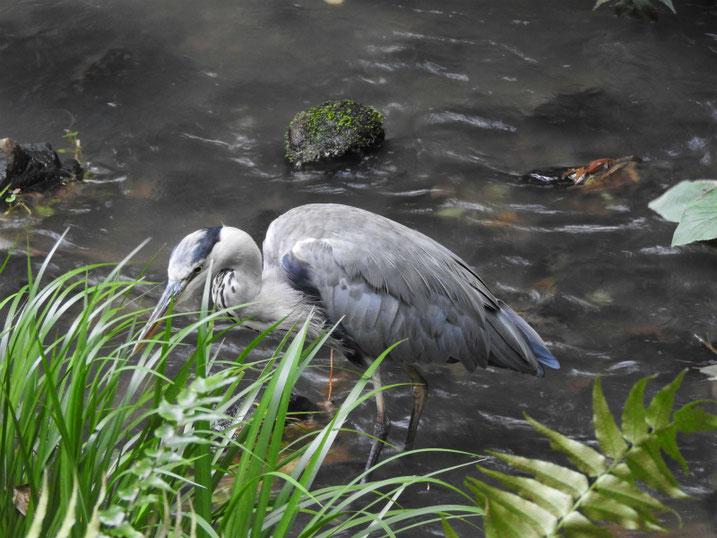 青鷺(あおさぎ) 親水緑道 2021/09/08撮影