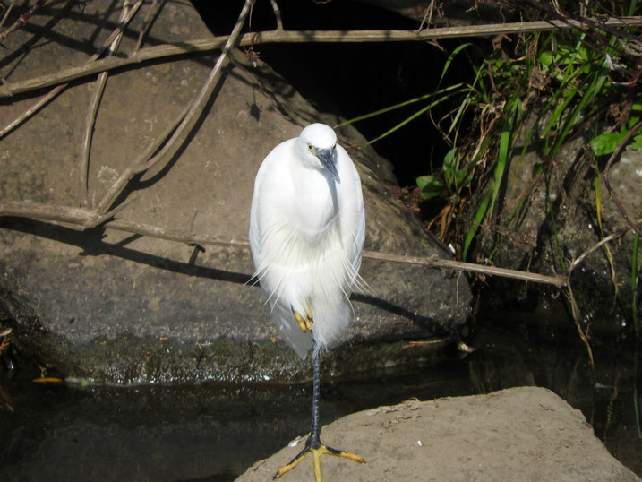 小鷺(こさぎ) 散策路河川 2020/11/09撮影