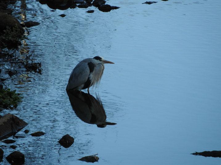 青鷺(あおさぎ) 散策路河川 2021/01/31撮影