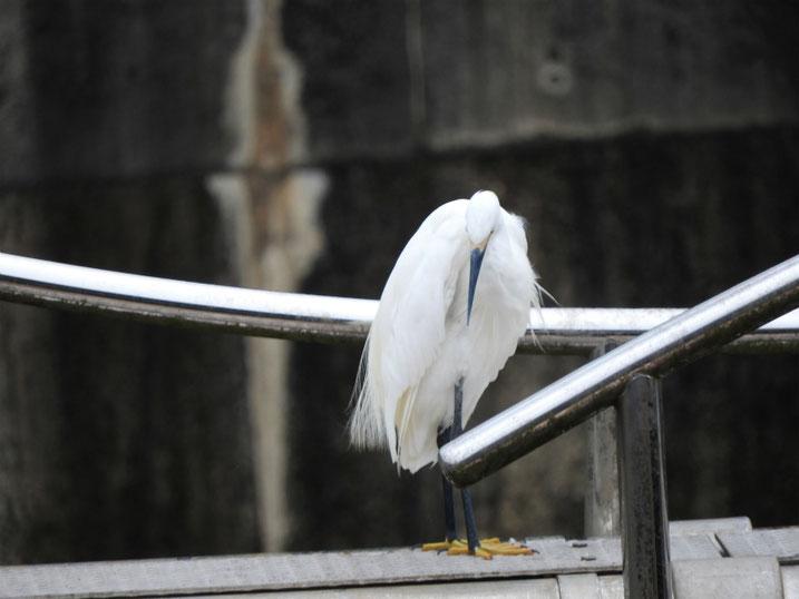 小鷺(こさぎ) 散策路河川 2020/08/23撮影