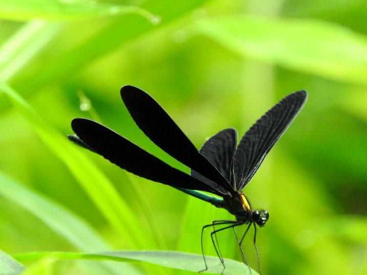羽黒蜻蛉(はぐろとんぼ) 親水緑道 2021/07/10撮影