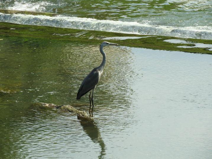 青鷺(あおさぎ) 散策路河川 2020/08/16撮影