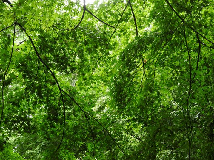 親水緑道の新緑 2020/06/14撮影