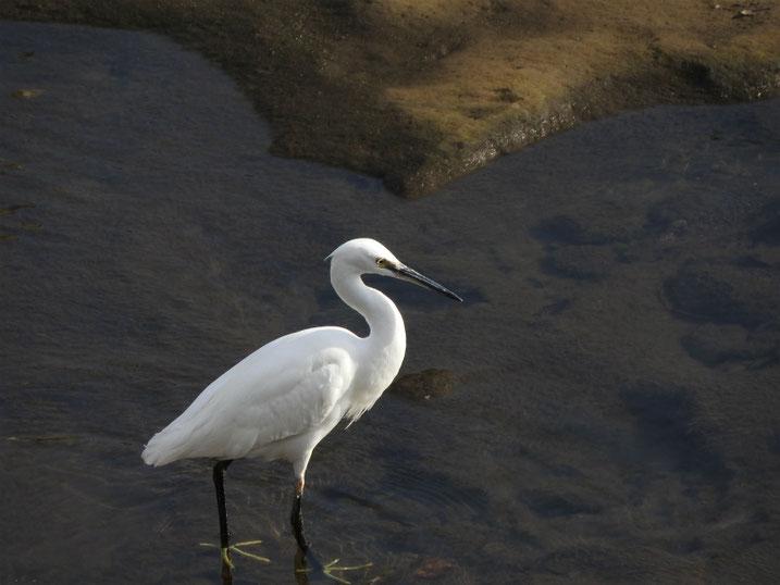 小鷺(こさぎ) 散策路河川 181207撮影