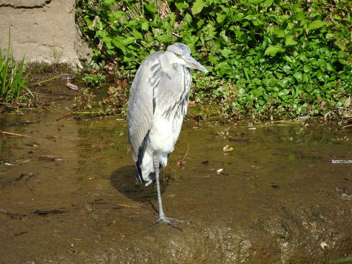 青鷺(あおさぎ) 散策路河川 2020/11/09撮影