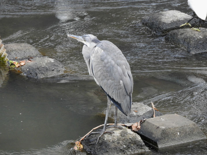 青鷺(あおさぎ) 散策路河川 2020/11/08撮影