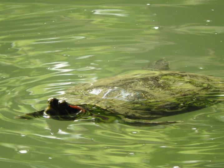 アカミミガメ 親水公園の池 2020/05/05撮影