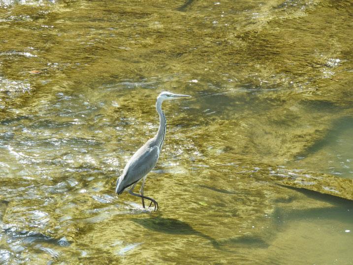 青鷺(あおさぎ) 散策路河川 2020/0816撮影