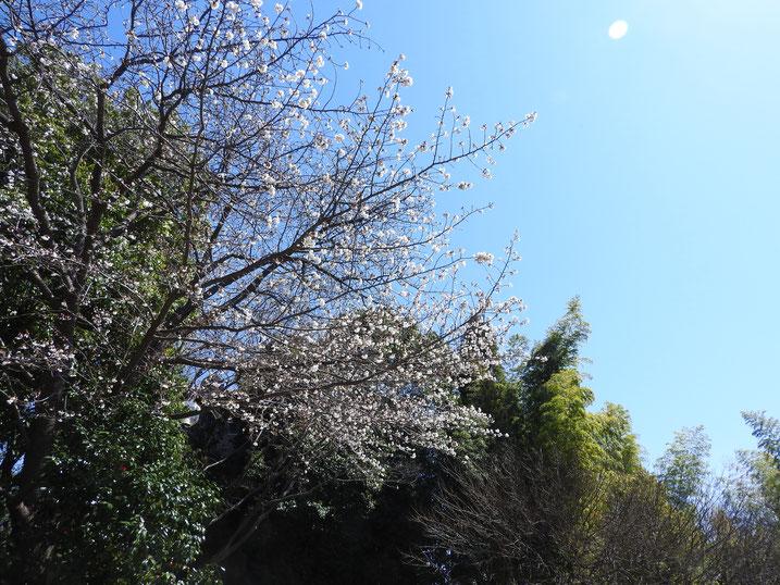 3月の親水緑道の桜風景 2020/03/26撮影