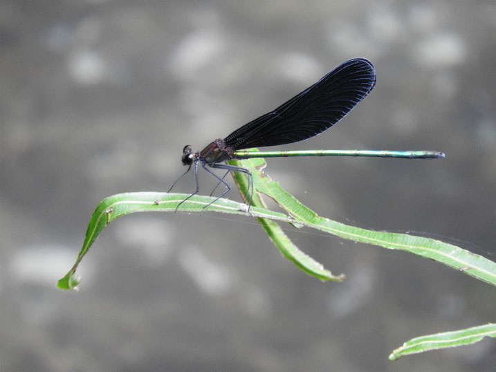 羽黒蜻蛉(はぐろとんぼ) 親水緑道 2021/09/14撮影