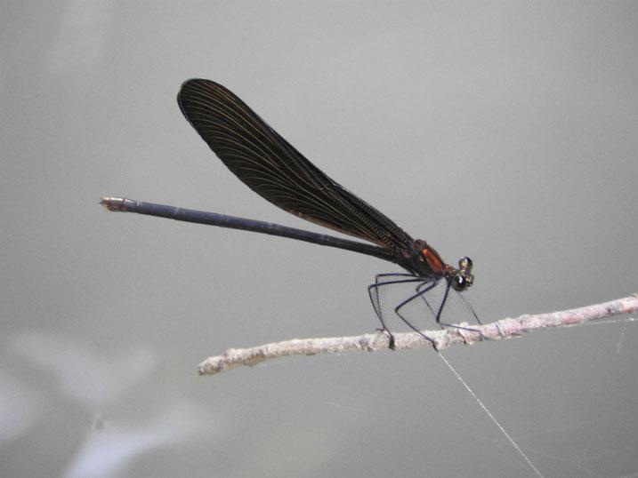 羽黒蜻蛉(はぐろとんぼ) 親水緑道 2020/07/12撮影