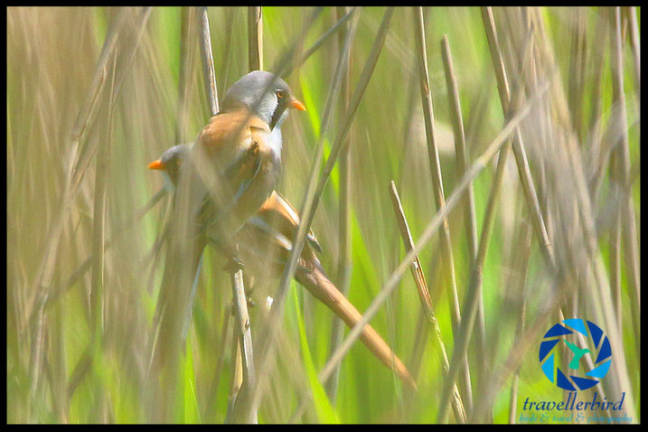 Bearded reedling sitting in some reed