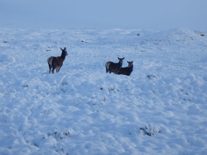 Deer, Glen Coe, West Highland Way in December, Winter snow