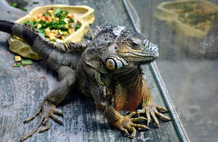iguana veterinari milano