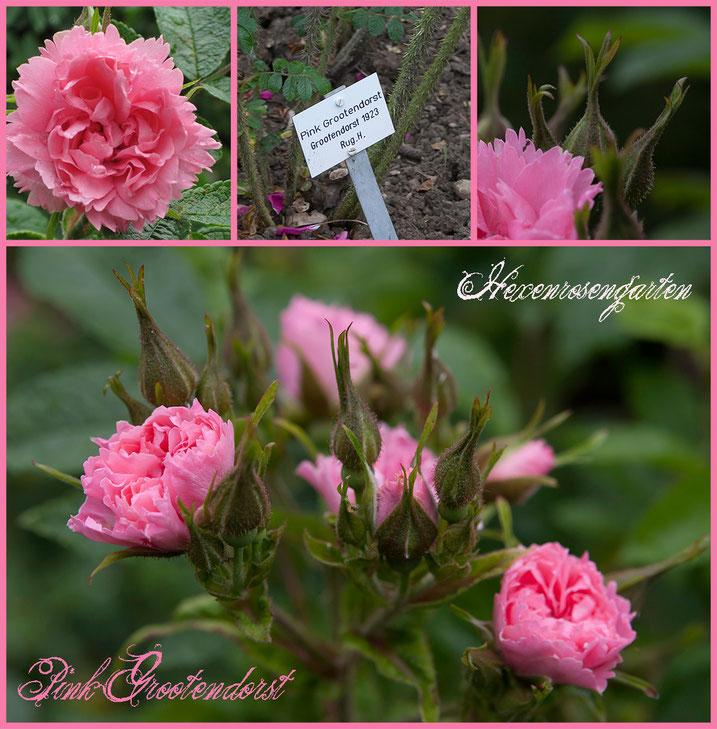 Hexenrosengarten Rosenblog Europarosarium Sangerhausen Rose Pink Grootendorst
