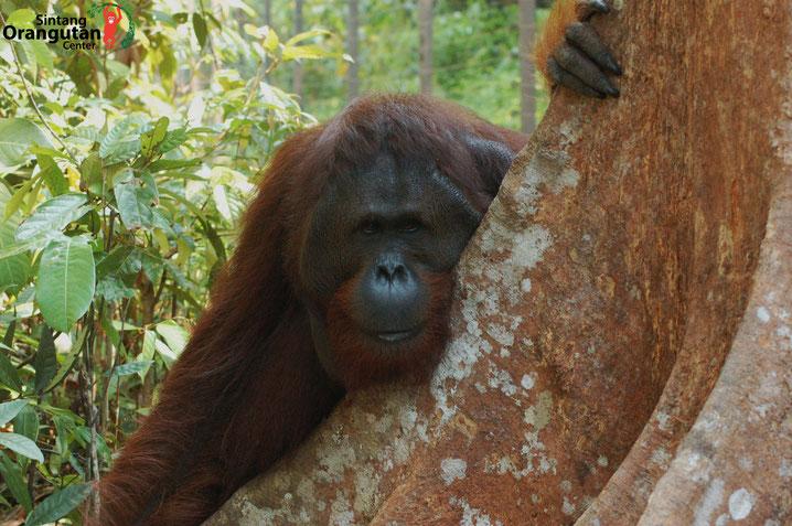 Mamat ist erwachsen, ®Sintang Orangutancenter