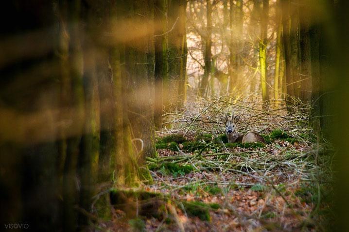 kleiner waldkönig | visovio fotografie & fotokunst |  kleiner hirsch, mosbett, waldkönig