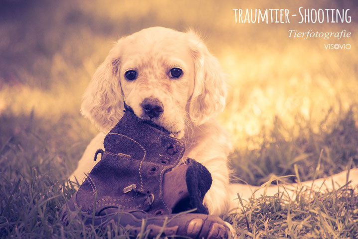 dein schuh? | www.visovio.de | projekt traumtiere    setterwelpe, setter, english setter puppy