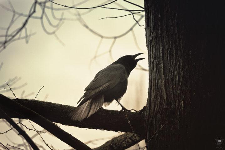 rabenballade | visovio 201302 | projekt traumtiere havamal, runatal, rabenvogel, vogelruf