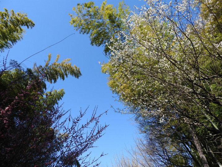 紅梅と白梅の風景 親水公園 180302撮影