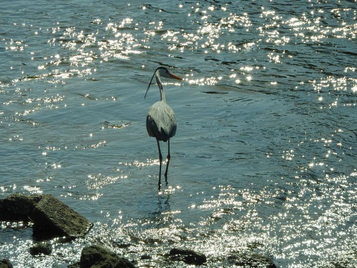 散策路の河川で遊ぶ青鷺 2017/04/20撮影