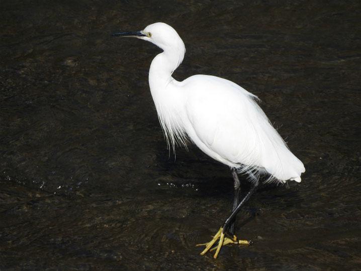 小鷺(こさぎ) 散策路河川 180302撮影