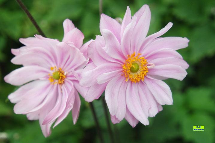 Gefüllte Blüten der Herbstanemonen / Japan-Anemonen von K.D. Michaelis
