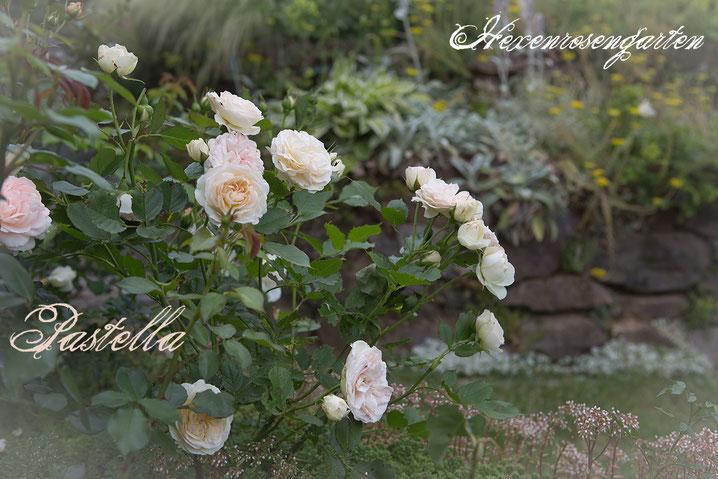 Rosiger Adventskalender im Hexenrosengarten - Floribundarose Pastella mit ADR-Prädikat aus dem Hause Tantau
