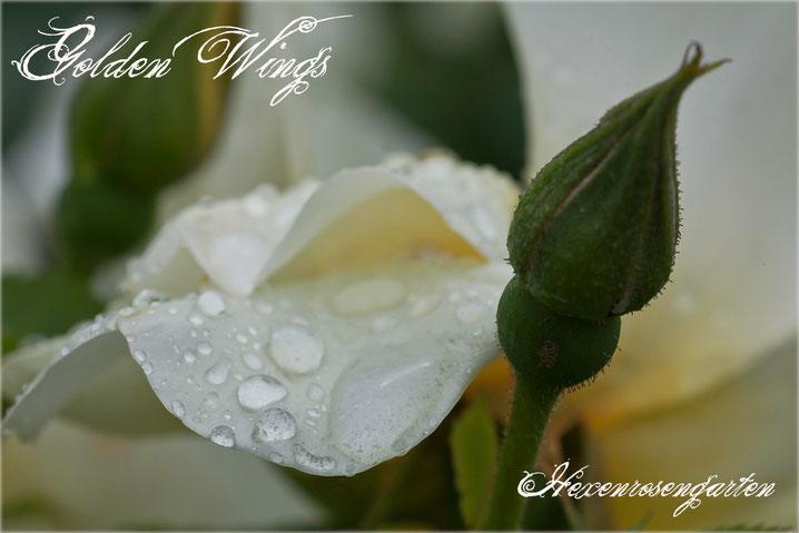 Rosen Rosenblog Hexenrosengarten Strauchrose einfache Blüten Staubgefäße schwefelgelb Golden Wings Shepherd Rosiger Adventskalender