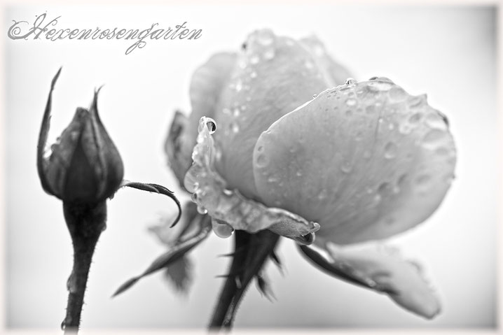 Rosenblog Hexenrosengarten  Rosiger Adventskalender Rose Sangerhäuser Jubiläumsrose Kordes schwarz-weiß