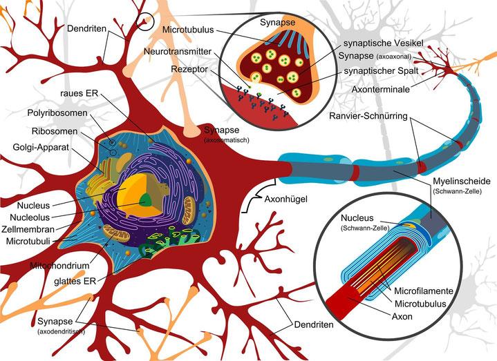 Lernen und Gedächtnis sind durch Neuroplastizität möglich, werden durch Stress und Emotionen beeinflusst