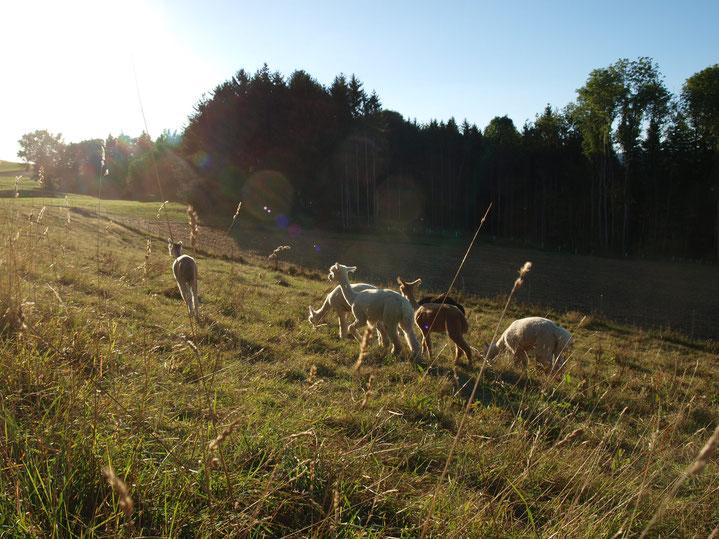ein teil unserer Herde beim graßen