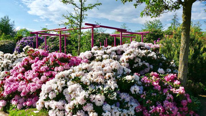 Rhododendrontraum im Park der Gärten in Bad Zwischenahn