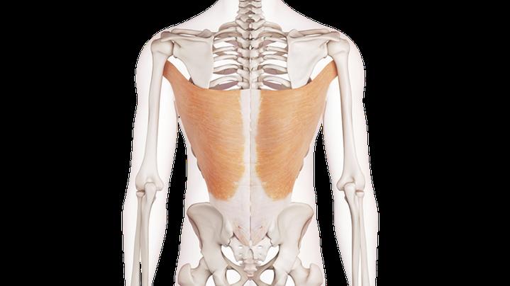 Vista posteriore del muscolo Gran dorsale