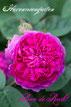 Rosiger Adventskalender  - Rose de Resht